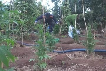 Ngang nhiên nhân giống, ươm trồng hơn 1.000 cây cần sa trong rẫy