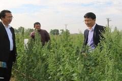 Nhà khoa học tìm cách trồng cây diêm mạch trong vùng đất ngập mặn