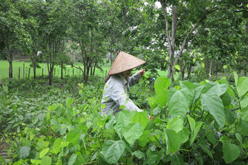 Nghiên cứu mô hình trồng rau Dạ Hiến theo chuẩn VIETGAP
