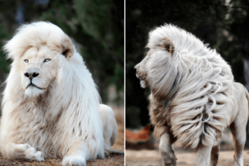 Loạt ảnh cận cảnh sư tử trắng ai nhìn cũng kinh ngạc