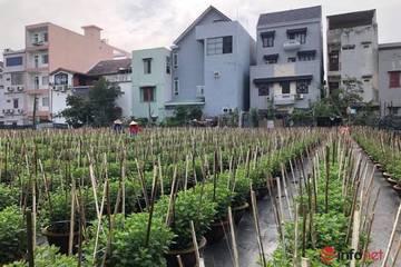 Trồng hoa Tết bán cho thị trường miền Trung, sát Tết chủ vườn rầu rĩ mong thương lái