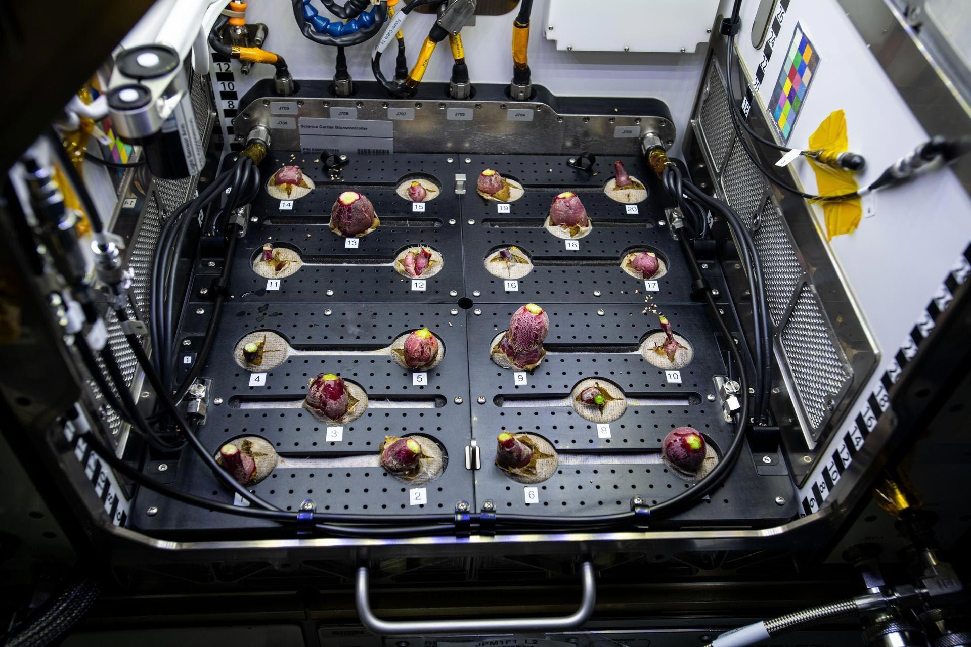 Phi hành gia ISS lần đầu ăn rau củ trồng ngoài Trái Đất
