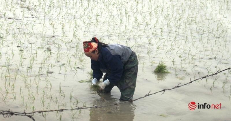 Nghệ An: Rét căm căm, nông dân làm đồng xuyên trưa để kịp vụ