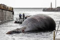 Kinh hoàng xác cá voi khổng lồ dạt vào bờ biển