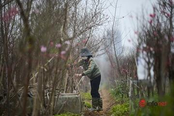 Đào Nhật Tân bung nở, chủ vườn hối hả chuẩn bị đón khách đến 'rước' về chơi Tết
