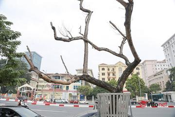 Sưa đỏ héo khô ở Hà Nội: Không đến giá tiền tỷ, cây chết sẽ bán thanh lý