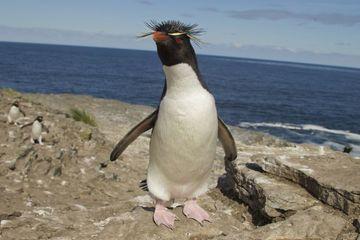 Chú chim cánh cụt e thẹn đáng yêu mê hoặc cư dân mạng, điều gì thực sự đã xảy ra?