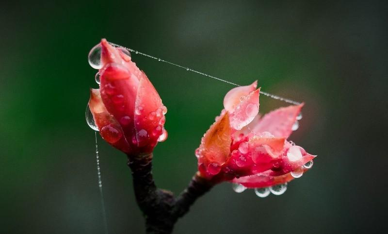 hoa đào chuông,đỉnh Bà Nà,chiêm ngưỡng