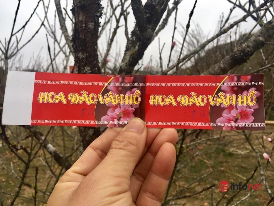 Hoa đào, mận Sơn La giá siêu rẻ, về Hà Nội giá tiền triệu