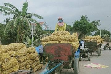 Hỗ trợ tiêu thụ khoai tây cho người dân bị phong tỏa ở xã Bình Dương