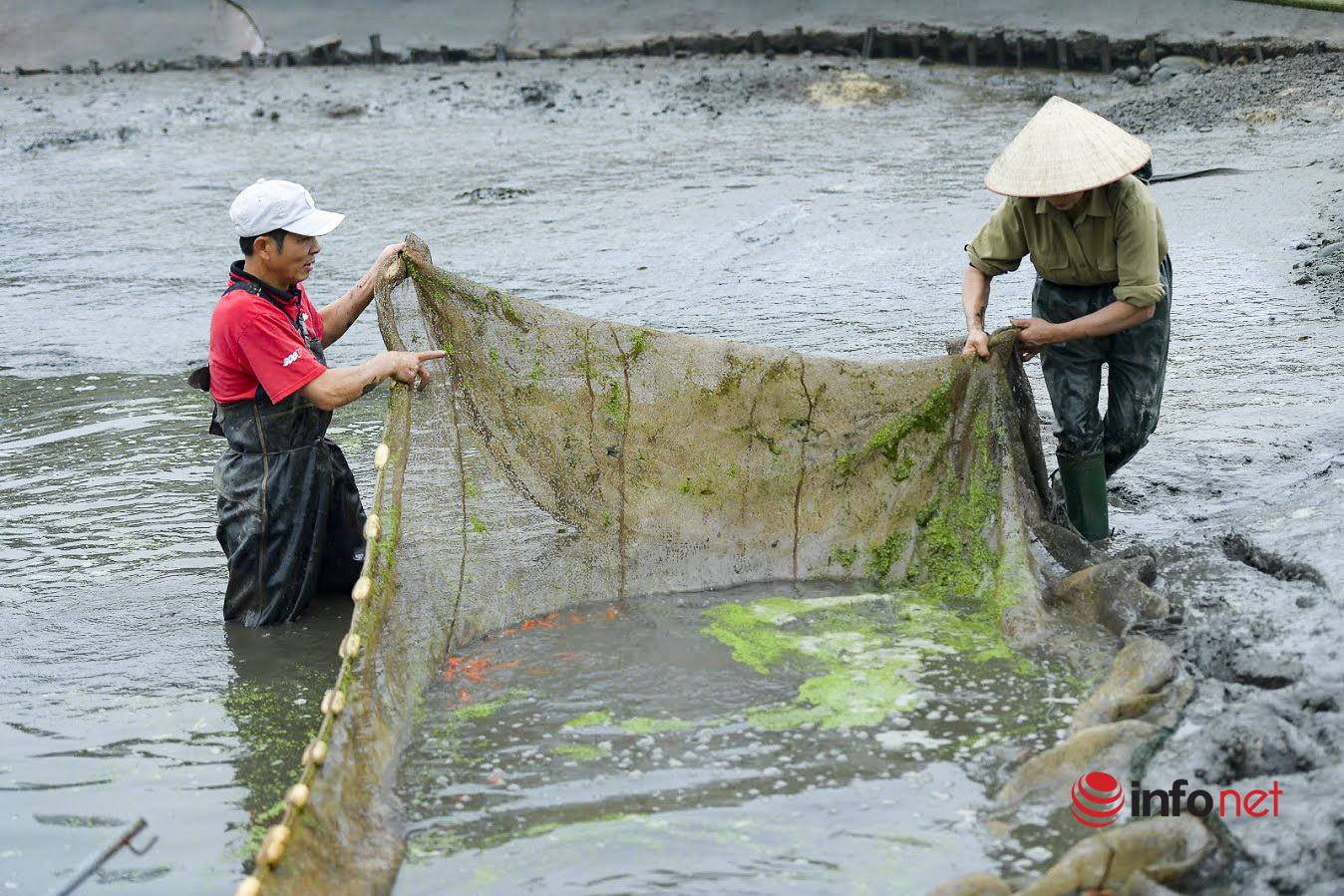 Làng cá chép đỏ lo mất trăm triệu vì dịch, phải phóng sinh hàng tấn cá
