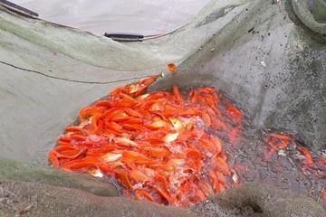 Thanh Hóa: Hối hả ở làng nuôi cá chép phục vụ ngày ông Công, ông Táo