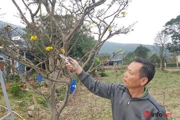 Độc lạ hoa mai màu vàng xanh nở thành chùm, giá hàng chục triệu đồng, chỉ có ở đèo Ngang