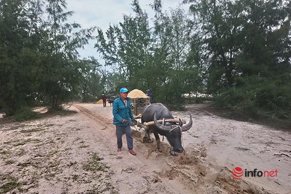 Về vùng biển Phú Vang xem hàng chục con trâu kéo xe giúp chủ mưu sinh