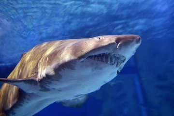 Vết răng lớn nghi cá mập trắng tấn công người đi thuyền