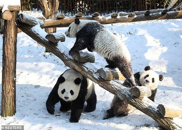 Khoảnh khắc hiếm gặp về cặp gấu trúc song sinh lần đầu chơi đùa trong tuyết