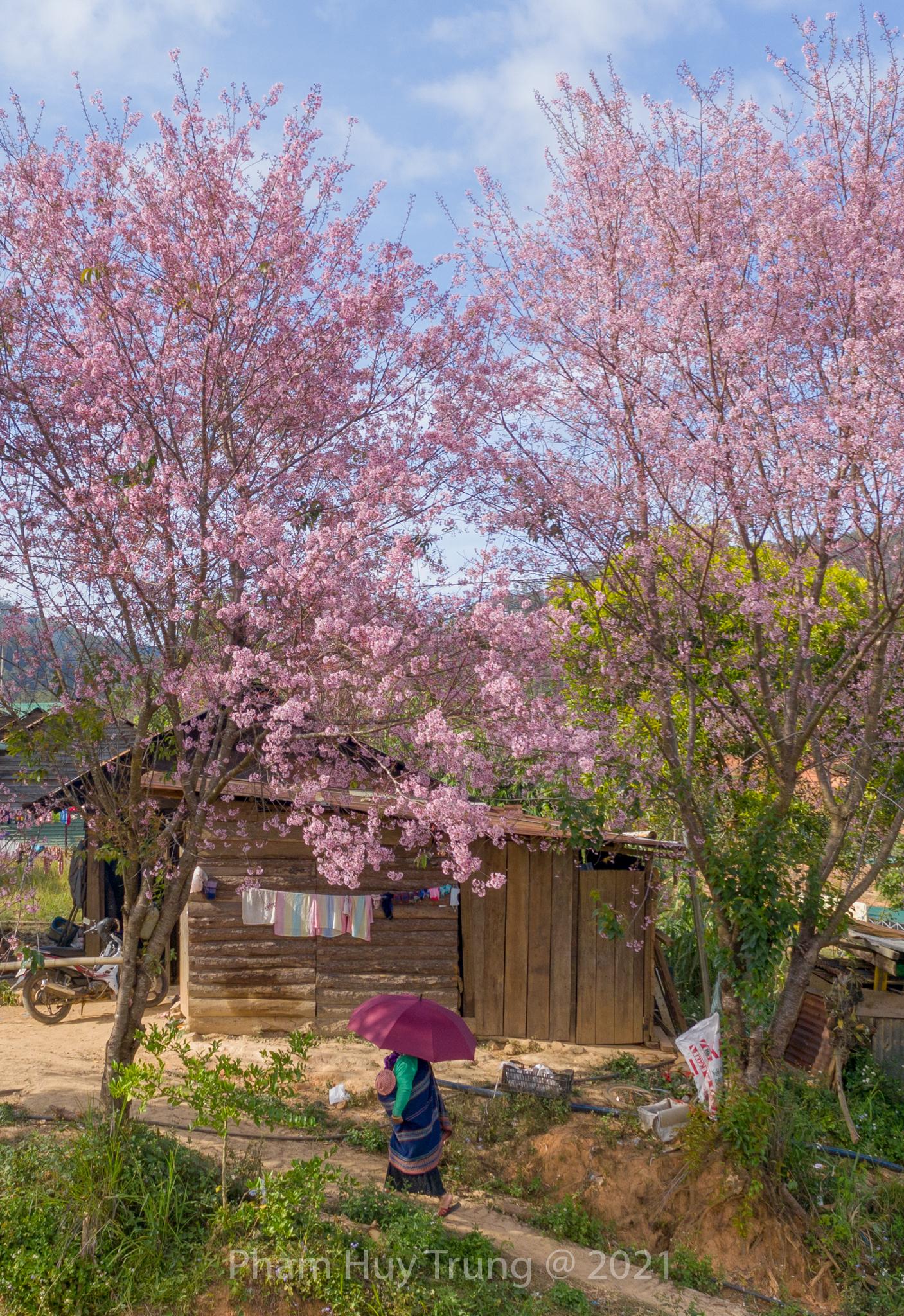 Đà Lạt: Rực rỡ sắc xuân với hoa Mai Anh Đào