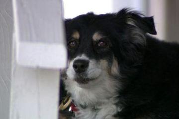 Chú chó trở thành triệu phú sau một đêm vì chủ qua đời