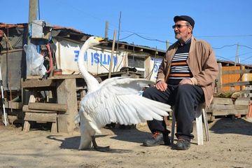 Tình bạn hi hữu suốt 37 năm giữa người đàn ông Thổ Nhĩ Kỳ và thiên nga trắng