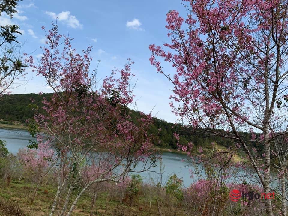 Hoa mai anh đào bung nở đúng dịp Tết, Đà Lạt 'nhuộm' màu hồng thơ mộng