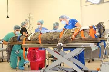 Phẫu thuật hiếm hoi lấy đôi giày khỏi bụng cá sấu
