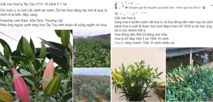 'Giải cứu' hoa ly Hà Nội: Tiểu thương 'hét' giá trên trời, người trồng kêu lỗ hàng trăm triệu đồng