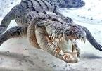 Mổ bụng cá sấu khủng dài hơn 4 mét phát hiện bí mật kinh hoàng