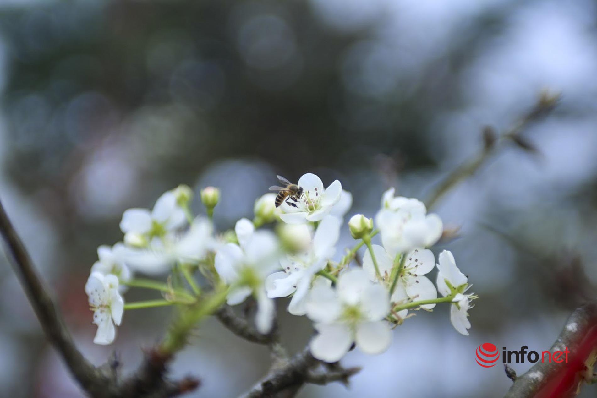 Hoa lê Tây Bắc trắng thanh khiết tràn xuống phố Hà Nội