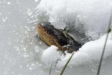Tuyệt chiêu giúp cá sấu sống được trong nước đóng băng