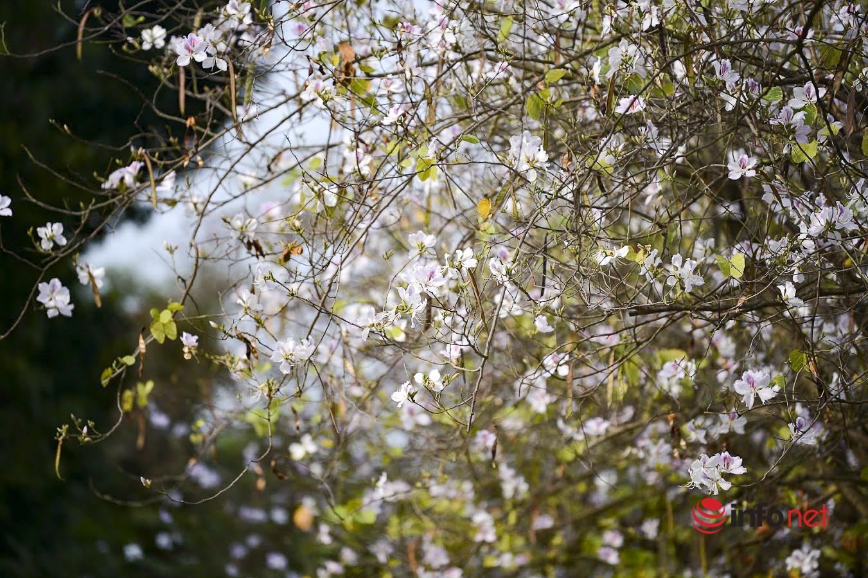 Hoa ban khoe sắc đẹp nao lòng giữa trời xuân Hà thành