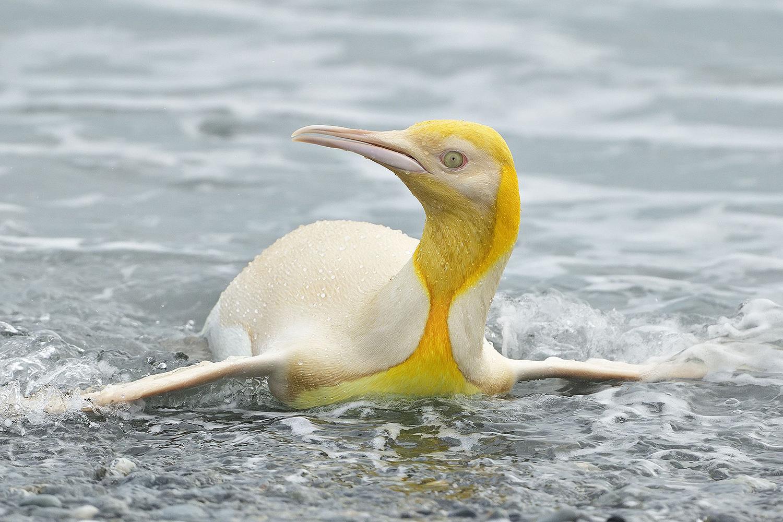 Chim cánh cụt lông vàng hiếm gặp trong tự nhiên
