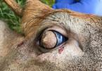 Rùng rợn đôi mắt của hươu mọc lông bên trong nhãn cầu