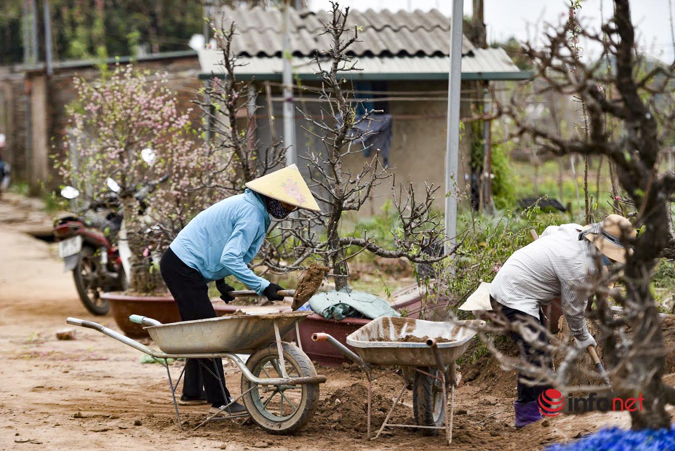Làng đào Nhật Tân hối hả vào vụ mới sau Tết