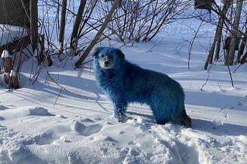 Bí ẩn về đàn chó có bộ lông chuyển sang màu hồng xanh bất thường