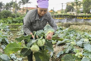 Nông dân Hải Dương có thể mất hàng trăm tỷ đồng vì nông sản ùn tắc