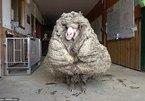 Cừu có bộ lông khổng lồ 5 năm chưa từng cắt một lần