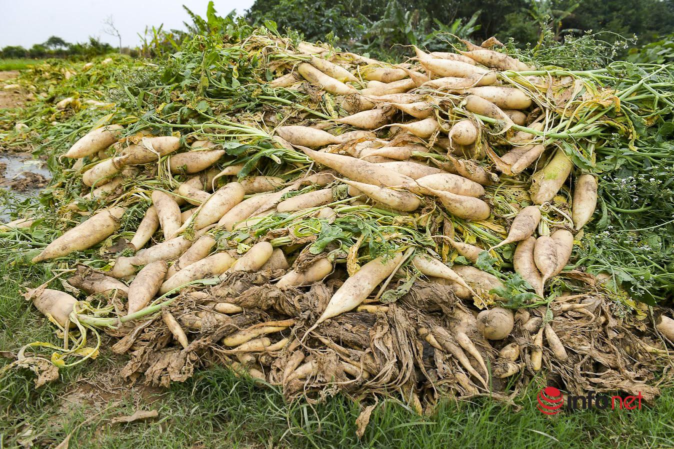 Hà Nội: Củ cải, cà chua không ai mua, dân Mê Linh bỏ mặc thối hỏng đầy đồng