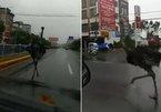 Đà điểu 'chạy thi' với xe cộ trên đường phố Trung Quốc