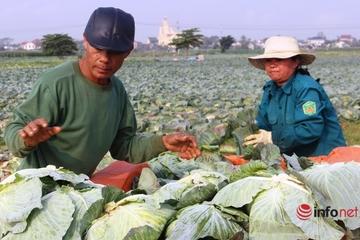 Bán cả xe bắp cải chưa nổi 200 nghìn đồng, người dân Nghệ An 'khóc ròng'