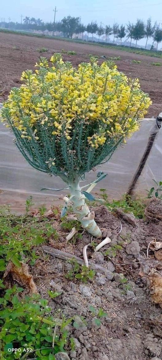 Nhìn loại hoa 'lạ hoắc', dân mạng kinh ngạc: Thì ra hoa súp lơ là thế này!