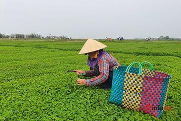 Huế: Rau xanh được mùa mất giá hơn nửa, 2.000đ/kg rau cần không có người mua