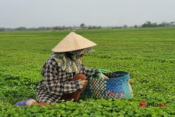 nông dân,nông sản,Thừa Thiên Huế,được mùa mất giá,rau xanh được mùa,rau xanh giảm giá
