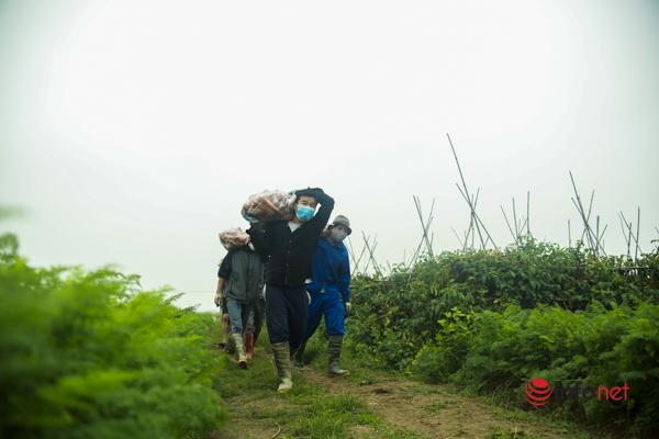 Ngày 'bình thường mới' ở Chí Linh: Thuê ngay trăm người ào xuống đồng thu hái