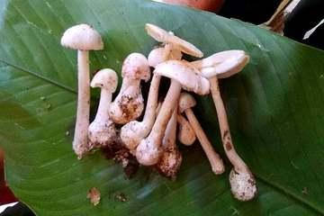 Cả gia đình cấp cứu vì ngộ độc, chuyên gia cảnh báo loại nấm cực độc mọc trong vườn nhà