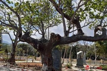 Giữa muôn trùng sóng gió, những 'cụ bàng' trên đất thiêng Côn Đảo vẫn xanh tốt suốt trăm năm