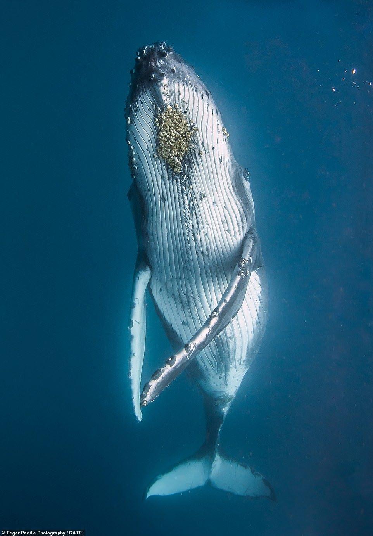 Ngoạn mục cá voi lưng gù khiêu vũ trong làn nước sâu