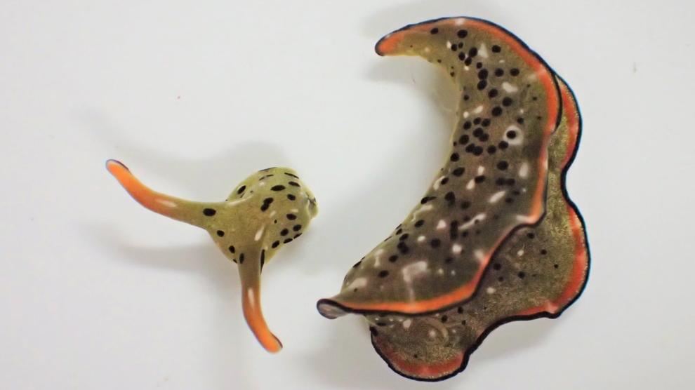 Sên biển kinh dị đầu lìa khỏi cổ vẫn phát triển thành cơ thể mới