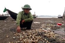 """""""Tảo nở hoa"""" có thể là nguyên nhân khiến hàng trăm tấn ngao chết ở Thanh Hóa"""