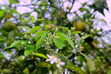 Cây ra hoa rồi quả vẫn ế chỏng chơ, đặc sản quýt PQ Nghệ An bán 2000 đồng/kg không có người mua