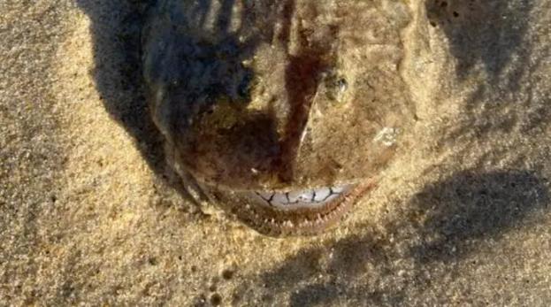 Cá kinh dị có răng như người nằm chình ình trên bờ biển Australia